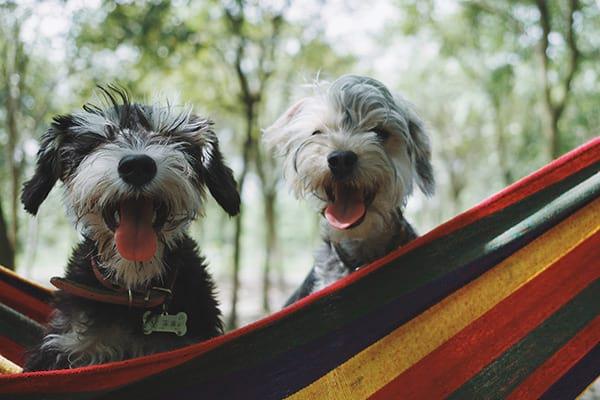 dog boarding happy pets